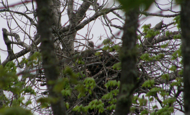eagle chick in nest