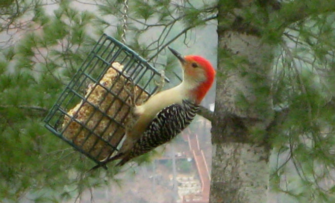 pic – red-bellied woodpecker
